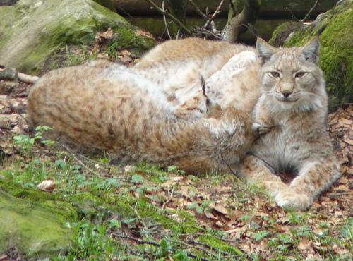 Luchspärchen Wildpark Steinwasen Luchs im Spessart nachgewiesen
