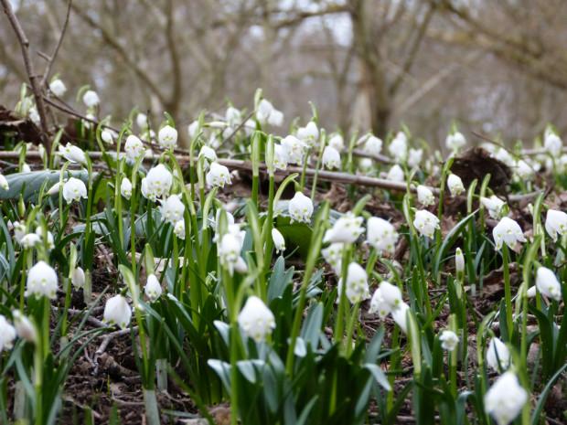 Märzenbecher 1 620x465 Märzenbecher   erste Frühlingsboten