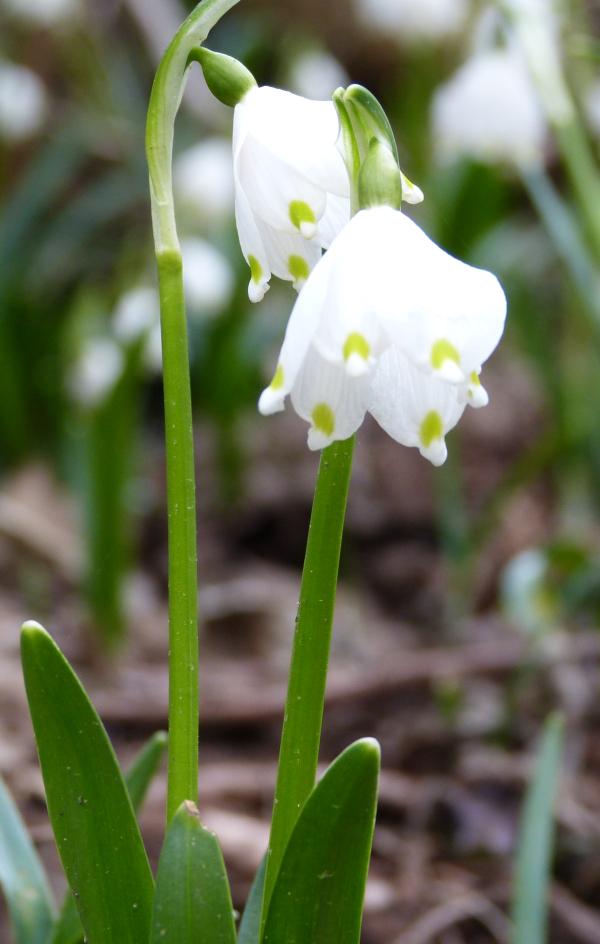 Märzenbecher 2 Märzenbecher   erste Frühlingsboten