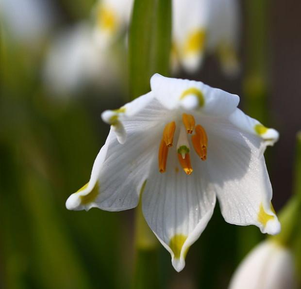 Märzenbecher Fotograf Hedwig Storch 620x596 Wildpflanzen im Frühling
