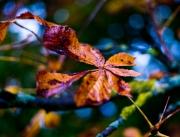 Ahornblatt im Herbst, Martin Mahlmeister