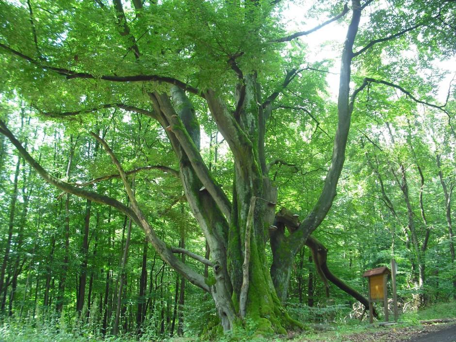 NSG Rohrberg Baum 940x705 Vortragsabend am 7. April: Wälder schützen und nachhaltig nutzen