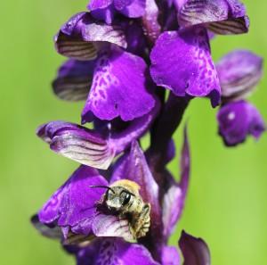 Orchideen am Zollberg Thorsten Ruf