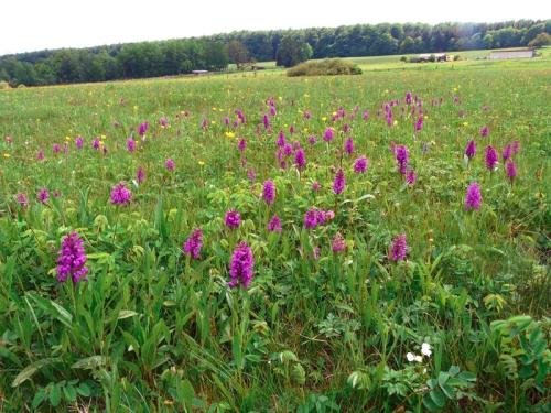Orchideenwiese Orchideen   seltene Schönheiten