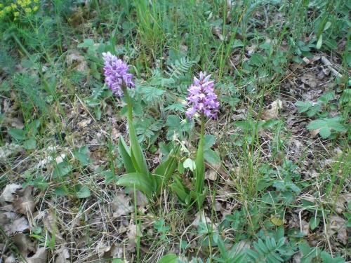 P1010011 Orchideenwiesen und Wasserbüffel bei Windheim