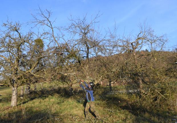 Pflegeschnitt an Obstbäumen in Mönchberg Jan2021 620x430 Streuobstpflege in Mönchberg und Schmachtenberg
