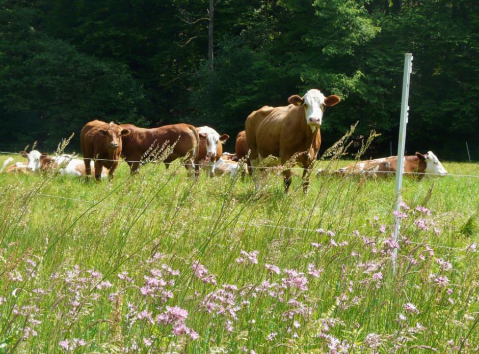 Rinderbeweidung im Naturschutzgebiet Spessartwiesen Foto Christian Salomon 940x696 Beweidung im Naturschutz – erkenntnisreiche Tagung in Aschaffenburg