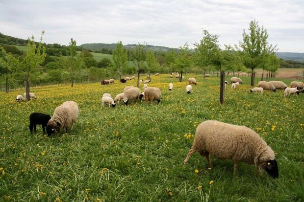 RoehnSchafHerden 620x413 Erste Schafhalter von Grünland Spessart zertifiziert