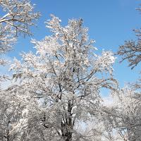 schneebedeckte Bäume im Spessart (Foto C. Salomon)