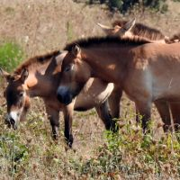 Przewalski-Pferde