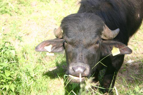 Wasserbüffel Hafenlohrtal WWF fördert Wasserbüffel Beweidung