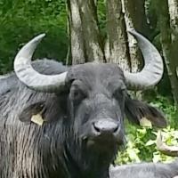Wasserbüffel (Foto: Walter Zapf)