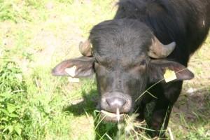 Wasserbüffel, Naturpark Spessart