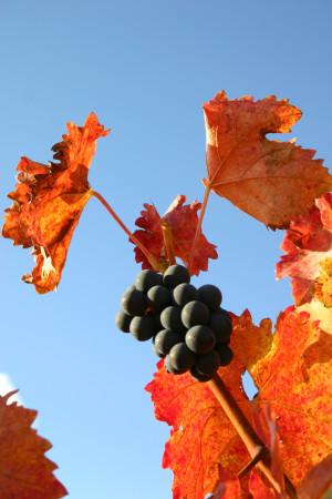 Weinrebe, Herbstfarben