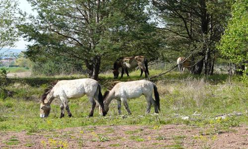 Wildpferde1 Wildpferde, Unken und Magerrasen bei Aschaffenburg
