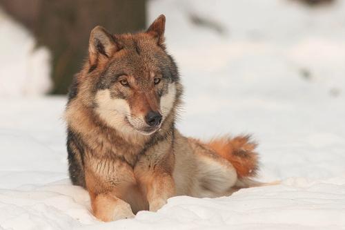Wolf Bernard Landgraf Kehrt der Wolf zurück in den Spessart?