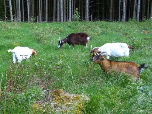 Ziegen im Hafenlohrtal Naturpark Spessart Neue Ziegen im Hafenlohrtal