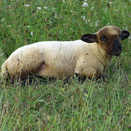 Zwischenablage02 Innovative Produkte zur Vermarktung von Ziegen  und Lammfleisch