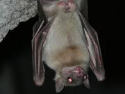 Fledermaus (Bild: D. Stockmann)
