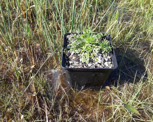 k Wasserfenchel vor der Auspflanzung im Sinngrund C. Salomon 620x495 Artenschutz: Hilfsmaßnahmen für den Wasserfenchel & Co.