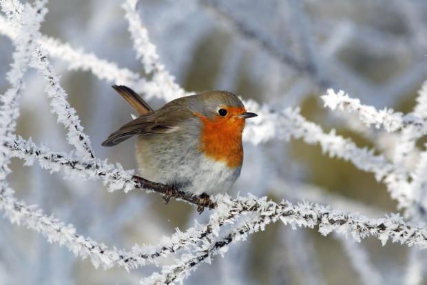 rotkehlchen 16 620x413 Vogelfütterung im Winter