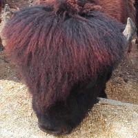steffl_bison_200x200