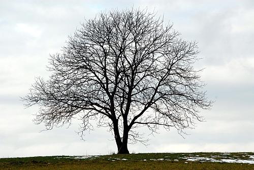 unbelaubter Baum wikipedia Bäume und Sträucher des Waldes erkennen   im unbelaubten Zustand