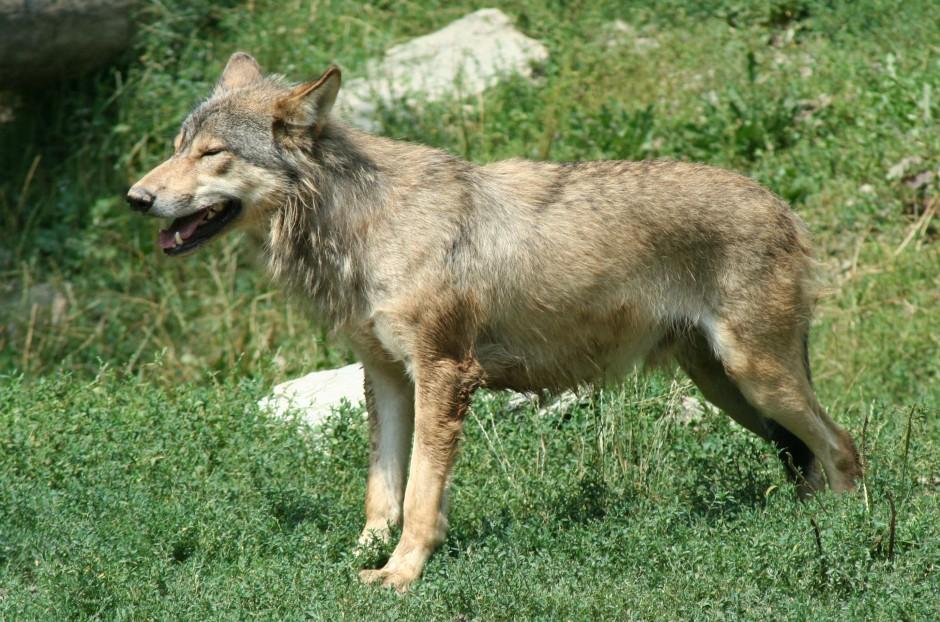 wolf1 940x622 Wolfsichtung im Naturpark
