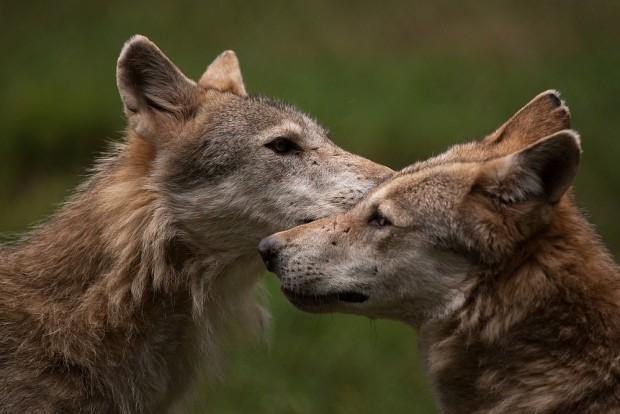 wolf5 620x414 Wer hat Angst vorm wilden Wolf