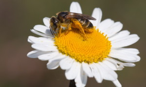 """Biene auf Blüte Dirk Donner1 300x180 """"Stechlin summt und brummt!"""""""