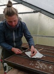 Caro180x250 Zwei weitere Schritte zur Vielfalt – seltene Ackerkräuter wurden gesammelt und vermehrt