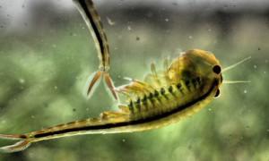 Feenkrebs männchen 300x180 Seit 200 Millionen Jahren auf der Welt