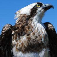 Fischadler Infotafel und Beobachtungsbank für Wummsee Rundwanderweg