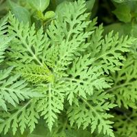 Ambrosia, Aufrechtes Traubenkraut, Ambrosia artemisiifolia
