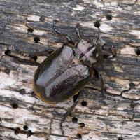 Ein Männchen des Eremiten bzw. Juchtenkäfers (Osmoderma eremita) auf einem Holzstück.