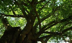 Maulbeerbaum 300x180 Vom Maulbeerbaum zur Seide   Von den Mühen des Seidenbaus in Brandenburg