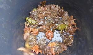 NaWa Amphibien2 300x180 Rasant einsetzender Vorfrühling brachte die innere Uhr durcheinander und Kröten auf Trab