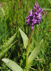 Orchideen 17 Ein Knäblein steht am Walde …