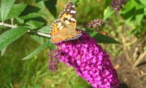 Schmetterling Karin 300x180 Gartenzeit – Pflanzen erleben