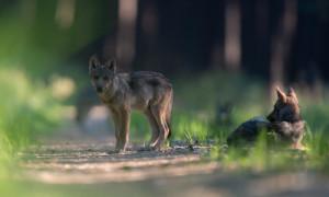Wölfe Kneifel Franck 06 300x180 13. Kleiner Naturschutztag in Menz