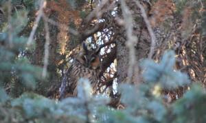 Waldohreule 0112 300x180 Im Walde verbunden   Die sagenhafte Nacht auf dem alten Wallberg
