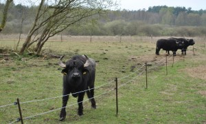 Wasserbüffel11 300x180 Wasserbüffel als Landschaftspfleger