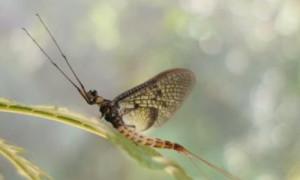insekt des jahres 300x180 365 Tage für die dänische Eintagsfliege