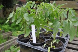 k DSC 00142 300x201 Kleine Tomatenpflanzenbörse war großer Erfolg!