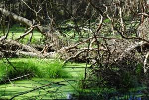 Renaturiertes Moor im NSG Stechlin