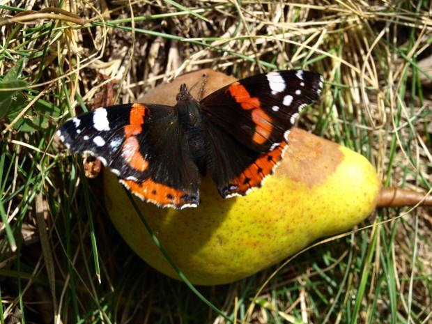 k Schmetterling 620x465 Press zum Menzer Apfeltag deinen eigenen Apfelsaft!