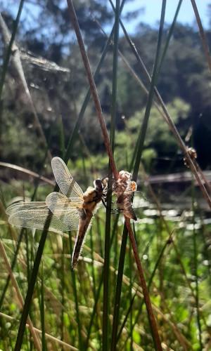 libelle3 300x500 Libellenkartierung im Naturpark
