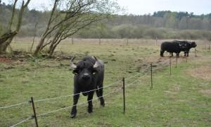 wasserbüffel 300x180 Bereisung im EU Life Projekt Feuchtwälder