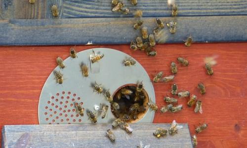 Bienen 007 kl Fleißige Bienen im Naturparkzentrum