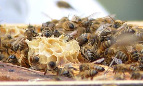 Bienen NPZ Warin 3 kl Fleißige Bienen im Naturparkzentrum